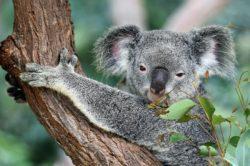 Koala stojí na stromě